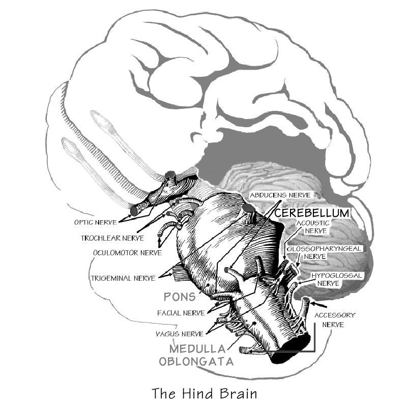 HindBrain